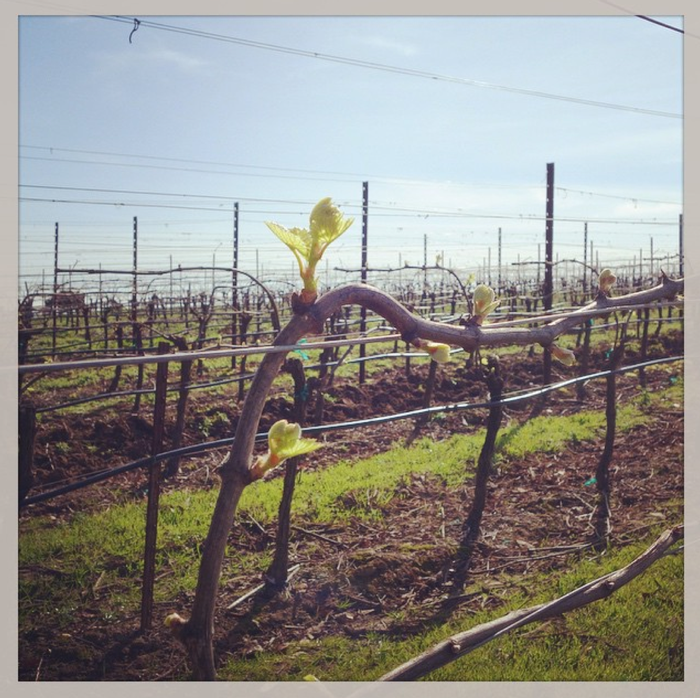 La Pitchoune Winery - Blog - 2015 Spring Vineyard Update 3c13771b5bd
